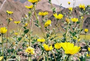 death-valley-flowers-22605-009-3
